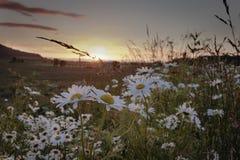 Заход солнца маргаритки Стоковая Фотография