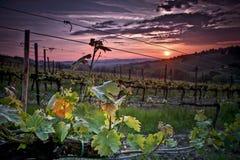 Заход солнца над виноградником Стоковое Изображение