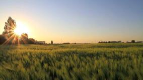 Заход солнца на пшеничном поле видеоматериал