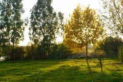 Заход солнца осени в парке при лучи солнца идя через желтые листья дерева Стоковые Изображения RF