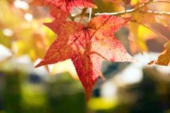 Заход солнца осени кленового листа красный Стоковое Изображение RF