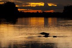 Заход солнца отражать озера желтый/оранжевый с погружать силуэты в воду гиппопотама, Ботсвану Стоковые Изображения RF