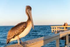 Заход солнца пеликана наблюдая на деревянной пристани Стоковое Изображение RF