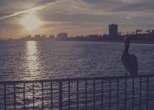 Заход солнца пеликана наблюдая Стоковые Изображения RF