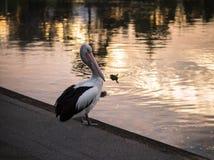 Заход солнца пеликана Стоковые Изображения