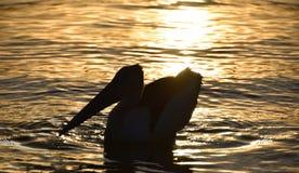 Заход солнца пеликана Стоковые Изображения RF