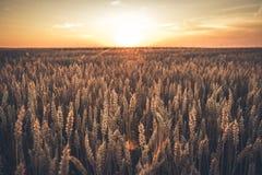 Заход солнца пшеницы Стоковые Изображения RF