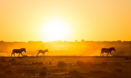 Заход солнца семьи зебры Стоковая Фотография RF