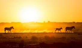 Заход солнца семьи зебры Стоковые Изображения RF