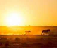 Заход солнца семьи зебры Стоковое Изображение RF