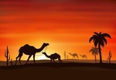 Заход солнца силуэта верблюда Стоковая Фотография RF
