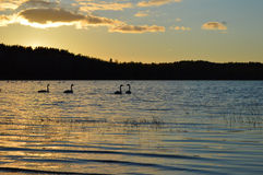 Заход солнца с лебедями в Финляндии Стоковые Фотографии RF