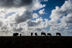 Заход солнца с коровами Стоковые Фотографии RF