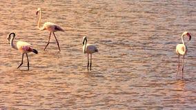 Заход солнца с фламинго в соленых болотах Стоковая Фотография RF