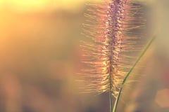 Заход солнца с цветком травы Стоковая Фотография RF