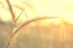 Заход солнца с цветком травы Стоковые Фото