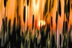 Заход солнца увиденный через черенок пшеницы Стоковое фото RF