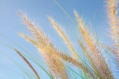Заход солнца цветка травы и голубое небо Стоковое Изображение