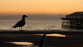Заход солнца чайки Стоковые Фото