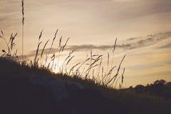 Заход солнца через длинный силуэт травы Стоковое фото RF