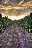 Заход солнца Hdr на винограднике Стоковая Фотография RF