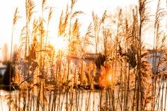 Заход солнца Reed Стоковые Фото