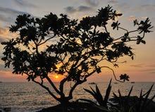 Заходящее солнце и тропический завод на Kona на большом острове Гаваи Стоковые Изображения RF