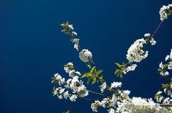 зацветает вал вишни Стоковые Фотографии RF