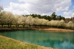 зацветает грушевое дерев дерево bradford Стоковая Фотография RF
