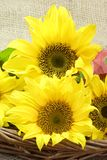 зацветает солнцецвет Стоковая Фотография