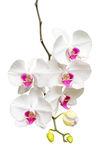 Зацветать белая и розовая ветвь орхидеи Стоковое Изображение RF