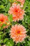 Зацветать бледный - розовый георгин на солнечный летний день Стоковые Фото
