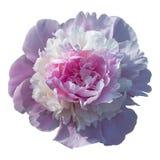 Зацветать бледный - розовый пион изолированный на белизне Стоковая Фотография RF