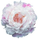 Зацветать бледный - розовый пион изолированный на белизне стоковая фотография