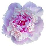 Зацветать бледный - розовый пион изолированный на белизне стоковые фотографии rf