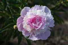 Зацветать бледный - розовый пион на зеленой предпосылке Стоковая Фотография