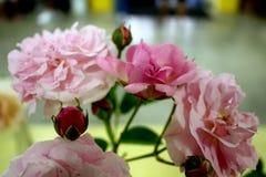 Зацветать бледный - розовые розы Стоковые Изображения RF