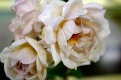 Зацветать бледный - розовые розы Стоковое фото RF