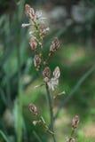 Зацветать весны одиночного asphodel Стоковая Фотография RF