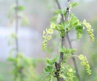 Зацветать ветви смородины Сад плодоовощ весны Стоковая Фотография
