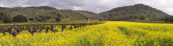 Зацветать виноградников и мустарда Napa Valley панорамный Стоковое Фото