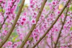 Зацветать вишни Стоковая Фотография