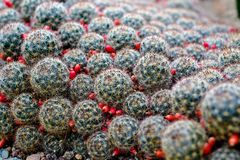 Зацветать вокруг форменных кактусов Оформление кактуса phpto фокуса цветка кактуса близкое выбранное вверх Пустыня кактуса Ландша Стоковая Фотография