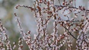Зацветать дерева весны видеоматериал