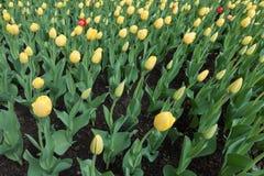 Зацветать желтые и красные тюльпаны Стоковая Фотография