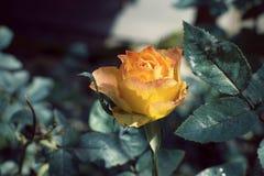 Зацветать желтых роз Стоковое Изображение RF