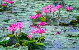 Зацветать лилии воды берега озера 2 семей Стоковая Фотография RF