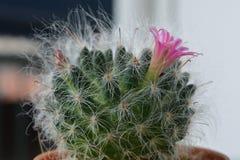 Зацветать кактуса красивый и приятный Стоковая Фотография RF
