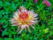 Зацветать комбинации розовый и желтый цветка Стоковые Изображения RF