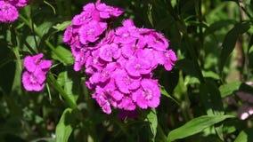Зацветать красивой красочной гвоздики цветка гвоздики chinensis в саде сток-видео
